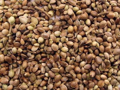 Sativa Cannabis Seeds vs Indica Cannabis Seeds